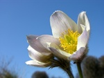 Spring Pasque Flower (Pulsatilla vernalis)